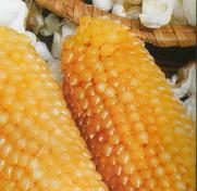 Кукуруза для Поп-корна