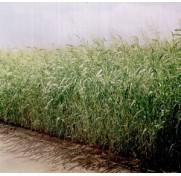 Суданская трава, Суданка (1 кг)