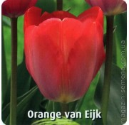 Тюльпан Van Eijk Orange